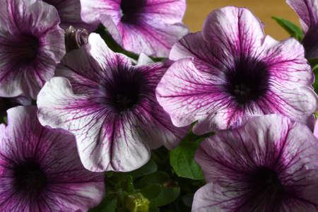 closeup of purple petunia in the garden