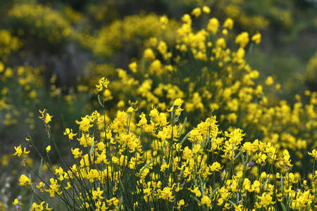 beautiful yellow flowers in bloom of Cytisus scoparius. Sarothamnus scoparius. Broom in bloom in June in the Tuscan countryside in Chianti region. italy