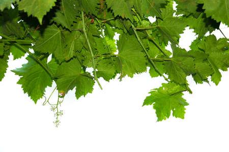 green vine leaves against white background 写真素材