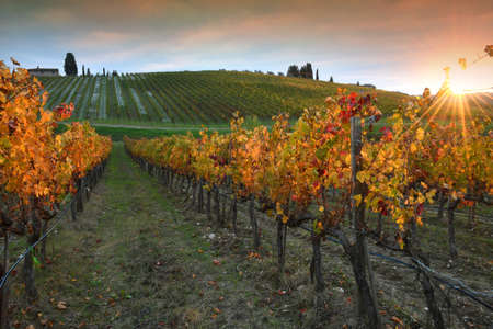 Autumn season, the sun's rays through the colorful leaves of the vineyards in the Chianti region at sunset. Chianti Classico area near Florence, Tuscany. Italy.