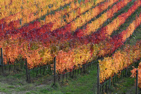 colorful rows of grapevines in the Chianti region near Florence. Autumn season, Italy.