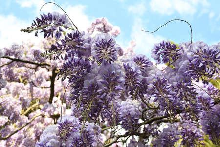 Beautiful violet wisteria in bloom, selective focus. Stock fotó - 167987447