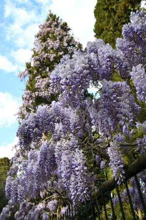 Purple flowering Wisteria Sinensis. Beautiful flowering wisteria plant in the garden climbs a cypress. Stock fotó - 167987448