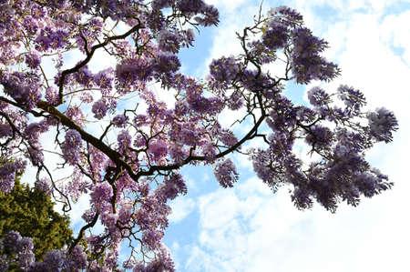 Beautiful purple wisteria in bloom in a garden. shot from below Stock fotó - 167987449