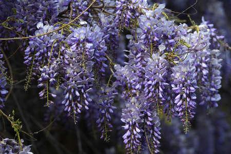 Beautiful purple wisteria blooming in a garden