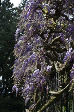 Beautiful violet wisteria in bloom, selective focus. Stock fotó