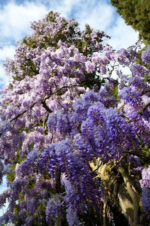 Purple flowering Wisteria Sinensis. Beautiful flowering wisteria plant in the garden climbs a cypress. Stock fotó