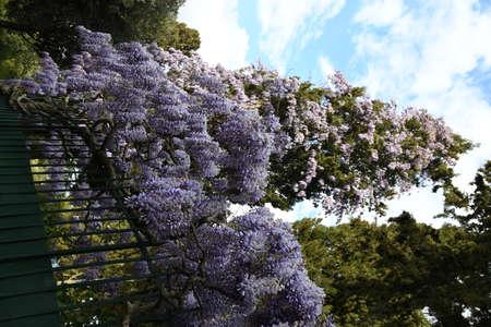 Purple flowering Wisteria Sinensis. Beautiful flowering wisteria plant in the garden climbs a cypress. Stock fotó - 167987608