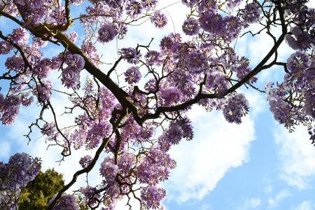 Beautiful purple wisteria in bloom in a garden. shot from below Stock fotó - 167987940