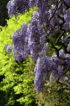 Beautiful purple wisteria blooming in a garden Stock fotó - 167988434