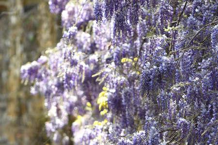 Flowering violet Wisteria Sinensis. Beautiful flowering Wisteria in garden. Selective focus Stock fotó