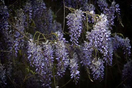 Beautiful violet wisteria in bloom, selective focus. Stock fotó - 167988439