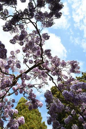Beautiful purple wisteria in bloom in a garden. shot from below Stock fotó - 167988440