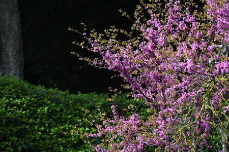 judas tree in bloom in a garden Stock fotó