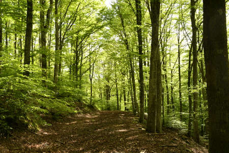 beautiful beech forest in the Apennine mountains near Arezzo. Italy
