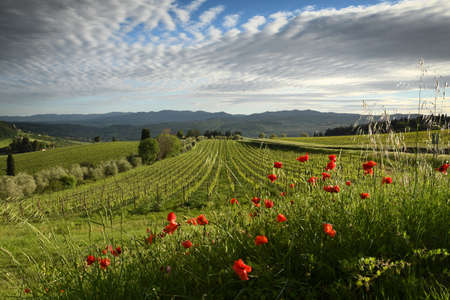 beautiful red poppies with young rows of vineyards and cloudy sky in the Chianti region of Tuscany. Spring season, Italy.
