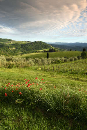 Typical Tuscan landscape in spring with red poppies, cypresses and vineyards on the beautiful hills around Florence, Italy.