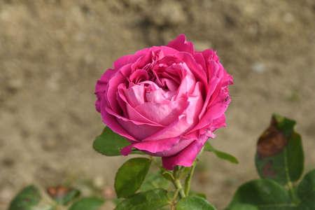 closeup of a pink rose in a garden