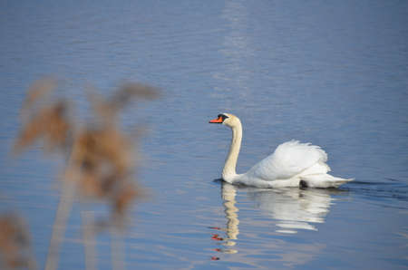 Beautiful swan enjoying afternoon sun in spring at Hopfensee