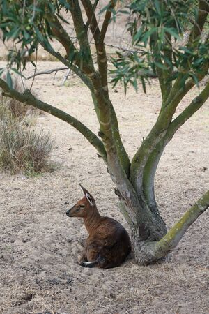 Klipspringer sitting under a tree in the sand photo