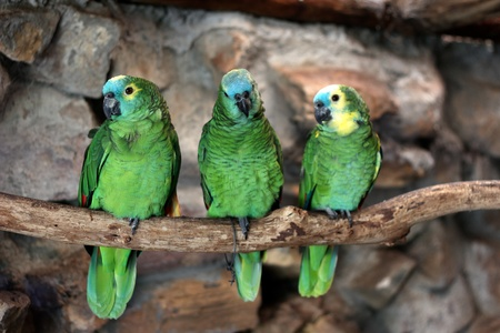 Three Blue-Fronted Amazon (Amazona aestiva) at world of birds, in Cape Town photo