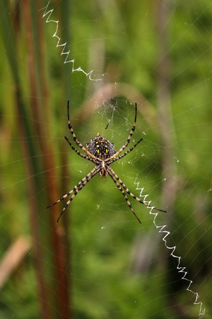 Spider on a spiderweb with green background photo