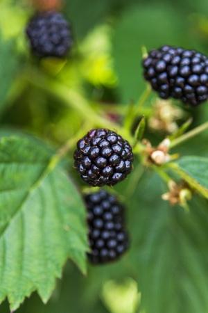 brambleberry: Moras frescas en un arbusto al aire libre en un campo