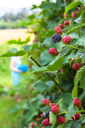 brambleberry: Fresh blackberries on a bush outdoors  in a field
