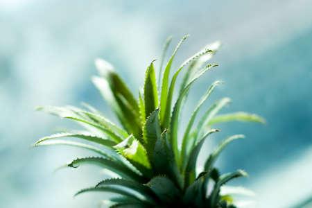 Pineapple leaf