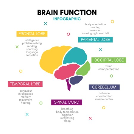 Creative human brain infographic concept lobe mind