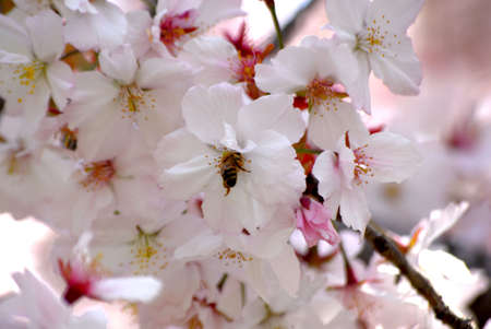 Bubble Bee in Cherry Blossom Stock Photo