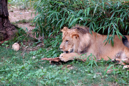 Lion laying in the grass playing eith tree bark