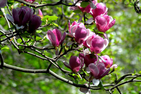 Purple Blooming Tree Stock Photo