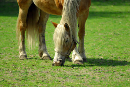 A brown and white horse eating grass in a field