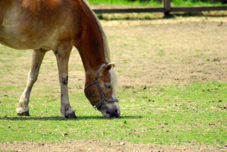 A brown horse eating grass in a field Stock Photo - 3213805