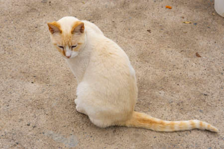 siamese red point cat outdoors
