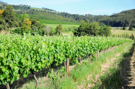 A row of vines growing in the sun of a South African vineyard