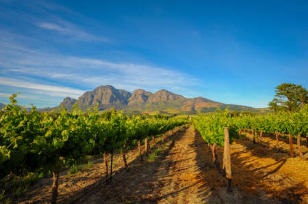 Vibrant Landscape with vineyards in sprin green with Mountains in the background Stockfoto