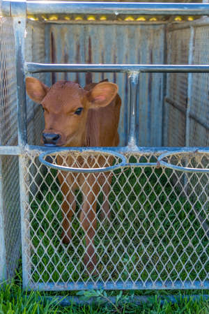 image of a young dairy cow in a cage just after being separated from its mother Stockfoto