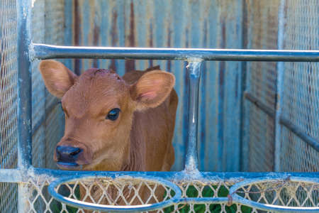 image of a young dairy cow in a cage just after being separated from its mother Stockfoto - 118993277