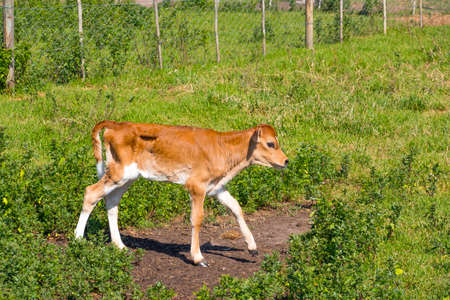 image of a young dairy cow walking around a paddock just after being separated from its mother Stockfoto