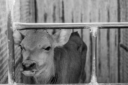 image of a young dairy cow in a cage just after being separated from its mother Stockfoto - 118993370