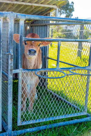image of a young dairy cow in a cage just after being separated from its mother Stockfoto - 118993387
