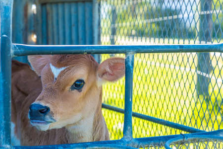image of a young dairy cow in a cage just after being separated from its mother Stockfoto - 118993388