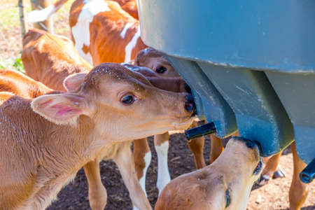 image of young dairy cows being fed by humans in a  paddock just after being separated from their mother