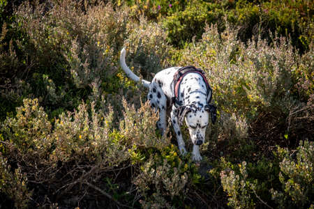 dalmatian search and rescue dog working a trail on a bright day