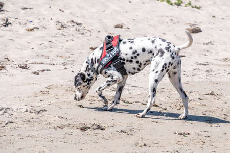 dalmatian search and rescue dog working on a beach on a bright day on a bright day