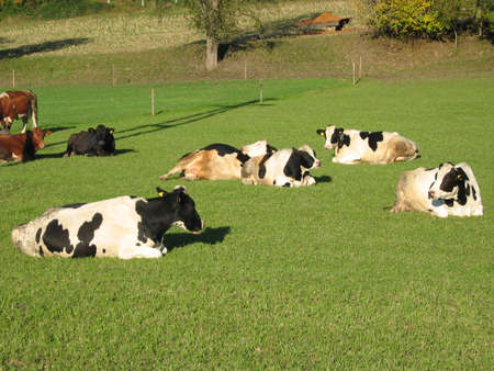 Some cows resting on a grass field