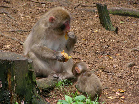 A monkey mother feeding her little one