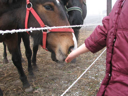 A girl feeding a horse on a frosty feedlot Stock Photo - 766919